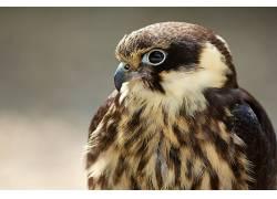 动物,鸟类,猎鹰350519