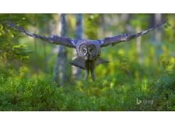 动物,猫头鹰,性质,鸟类201693