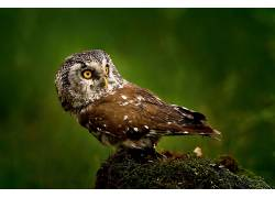 动物,鸟类,猫头鹰366190