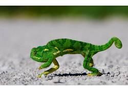 动物,蜥蜴,变色龙,地面,爬行动物123197