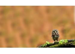 动物,鸟类,科,苔藓,猫头鹰10787