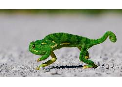 动物,蜥蜴,变色龙,地面,爬行动物23257