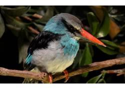 翠鸟,性质,鸟类,动物117559