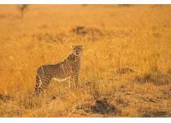 动物,猎豹,大草原338026