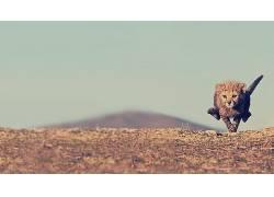 动物,猎豹,性质,幼崽,小动物,赛跑20041
