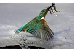 翠鸟,鱼,鸟类,动物,性质,野生动物,钓鱼,水,马丁pêcheur203794