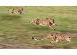 动物,猎豹,赛跑,运动模糊180387