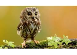 动物,猫头鹰,鸟类,苔藓13994