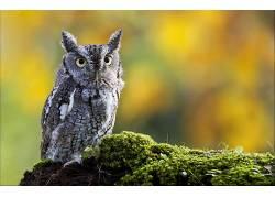 动物,猫头鹰,鸟类,苔藓204046