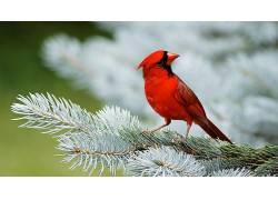 动物,鸟类,红雀339412