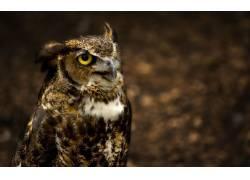 动物,猫头鹰,鸟类10791