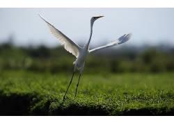 苍鹭,动物,鸟类56075