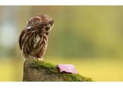 动物,猫头鹰,鸟类10793