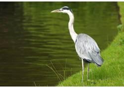 苍鹭,鸟类,动物155605