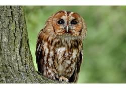 动物,猫头鹰,鸟类136650
