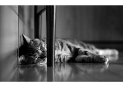 动物,猫,单色,睡眠200947
