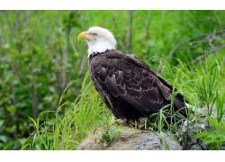 动物,鸟类,草,鹰136513