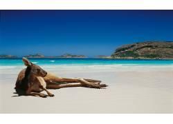 动物,袋鼠,海滩180404