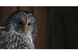 动物,猫头鹰,鸟类213623