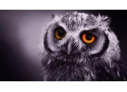 动物,猫头鹰,鸟类52624