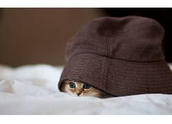 动物,猫,宠物,小猫,帽子,毯子,景深,藏,羊毛,蓝眼睛,本托罗德2899