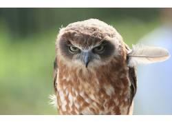 动物,猫头鹰,鸟类66094