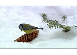 动物,鸟类,雪,山雀230228