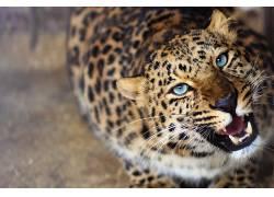 豹,动物,模糊,蓝眼睛,怒吼,大猫12858