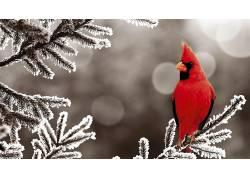 动物,鸟类,雪,红雀,霜48887