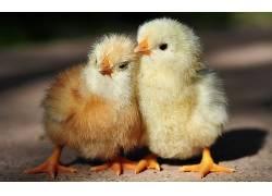 动物,鸟类,鸡,小动物353154