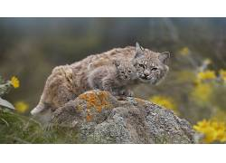 动物,猫的,性质,小动物,猞猁50960