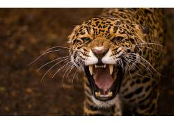 豹,动物,豹(动物)206616
