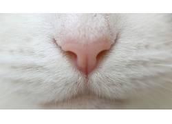 动物,猫,小动物,小猫,特写,鼻子,毛皮352968