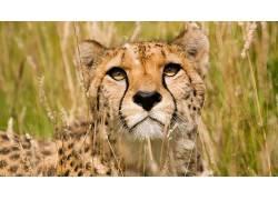 动物,猫的,性质,猎豹50972