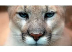 动物,猫的,性质,美洲狮50965