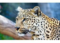 豹,大猫,动物57171