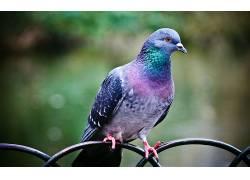 动物,鸟类,鸽子,性质,景深211104