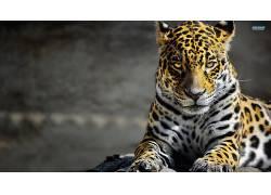 豹,美洲虎,豹(动物),动物88699