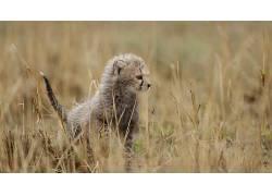 动物,猫的,性质,豹,小动物50968