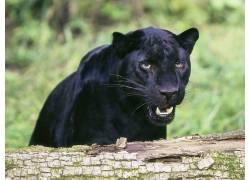 动物,猫的,性质,黑豹,黑豹50969