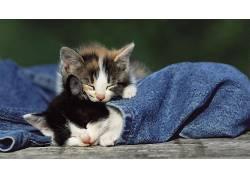动物,猫,小猫,牛仔裤,睡眠,小动物270241