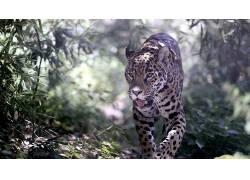 动物,豹,发育不全,植物,豹(动物)138771
