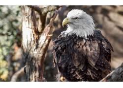 动物,鸟类,鹰,白头鹰,性质,模糊213239
