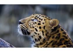 动物,豹,大猫11837