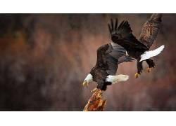 动物,鸟类,鹰,白头鹰134500