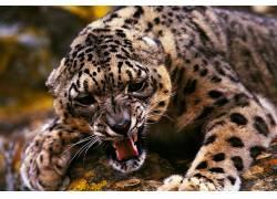 动物,豹,大猫25141