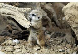 动物,猫鼬,小动物353166