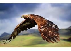 动物,鸟类,鹰26513