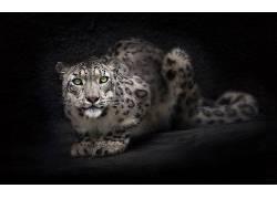 动物,豹,大猫40041