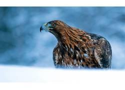 动物,鸟类,鹰338545